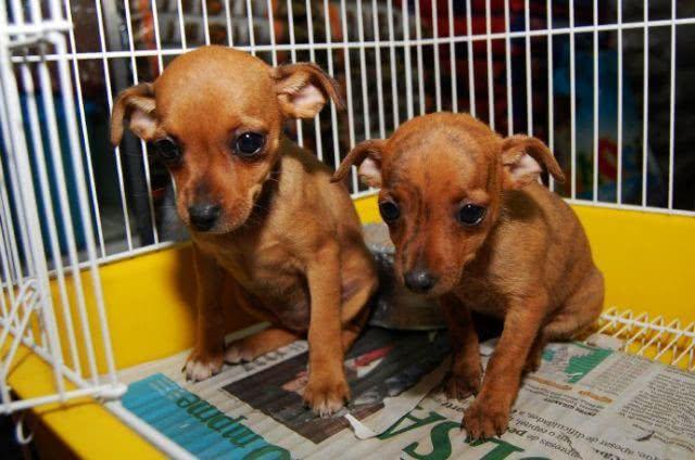 Modelo de contrato para compra e venda de cachorros