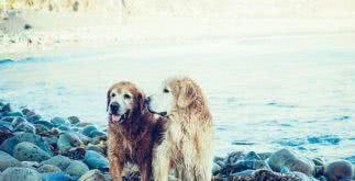 Modelo de contrato de acasalamento de cães